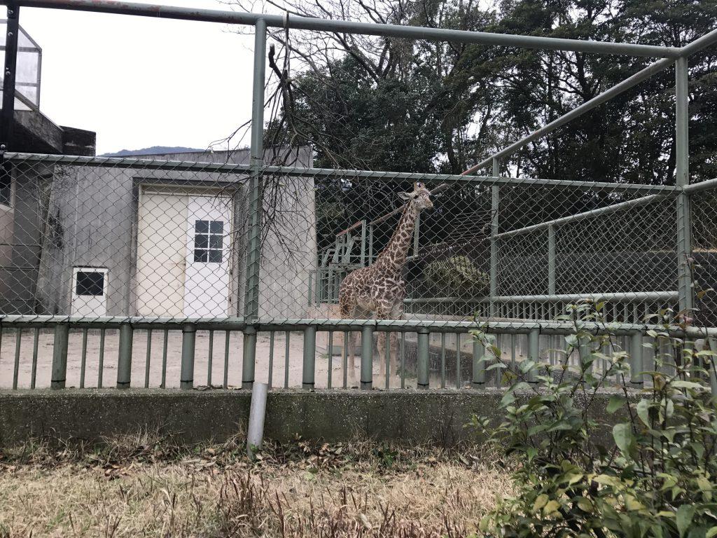 ひらかわ動物園 キリンの赤ちゃん