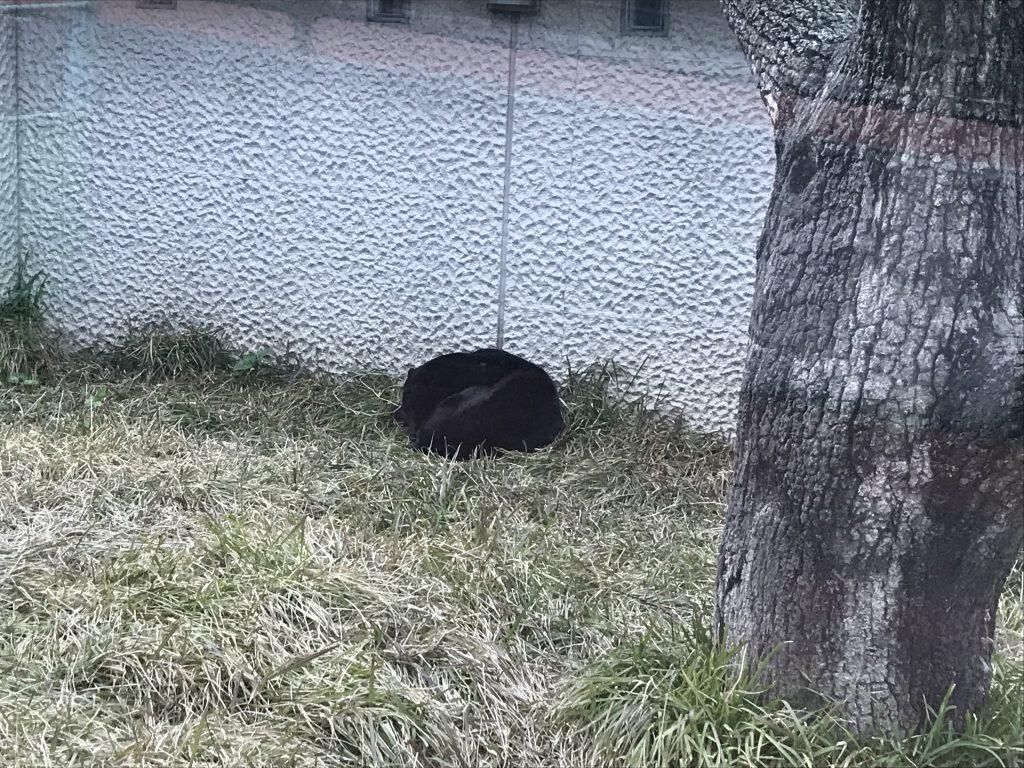 ひらかわ動物園 黒ヒョウ