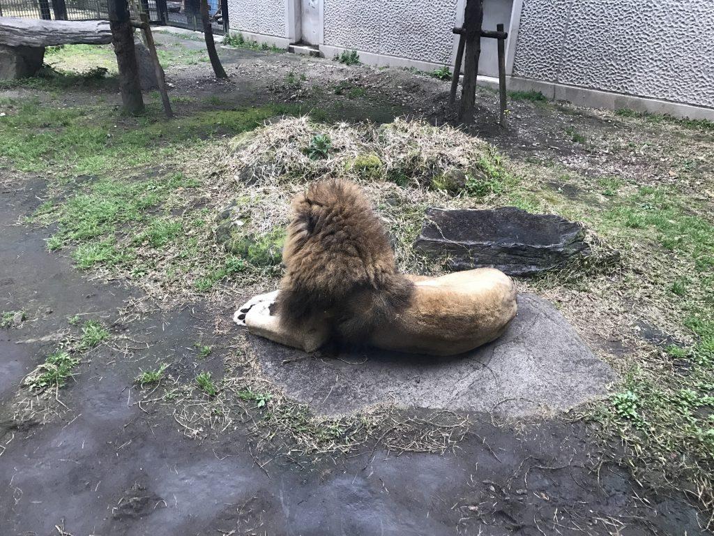 ひらかわ動物園 ライオン