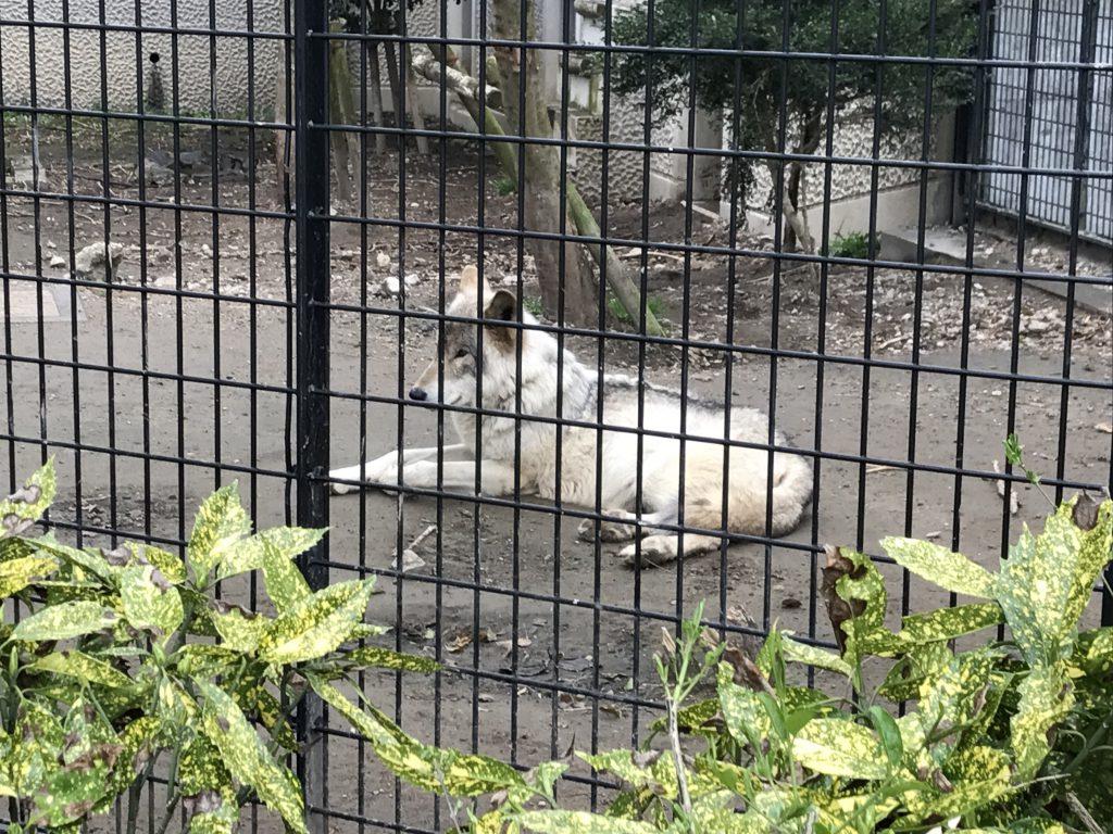 オオカミさん ひらかわ動物園