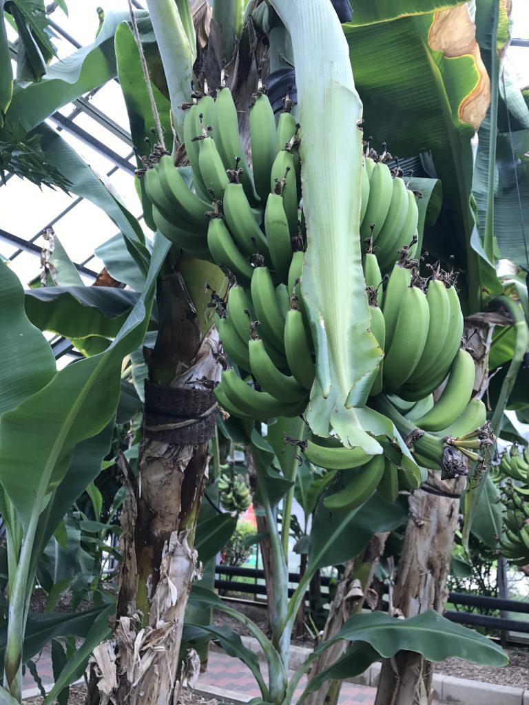 宮崎 青島 ボタニックガーデン バナナの木
